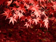 Image for Red Leaves of Autumn