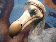 Image for Dodo reconstruction at the University Museum, Oxford