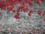 Image for Red Leaves floating above the pale ground