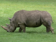 Image for Rhino at Woburn