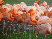 Image for Flamingoes
