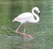 Image for Flamingo