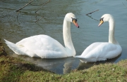 Image for Pair of Swans
