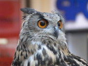 Image for Owl on show in shopping centre