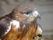 Image for Hawk