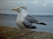 Image for Gulls