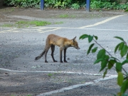 Image for Fox at Brookes Car Park