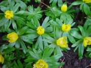 Image for Spring Yellows
