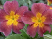 Image for Primroses
