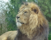Image for Lion
